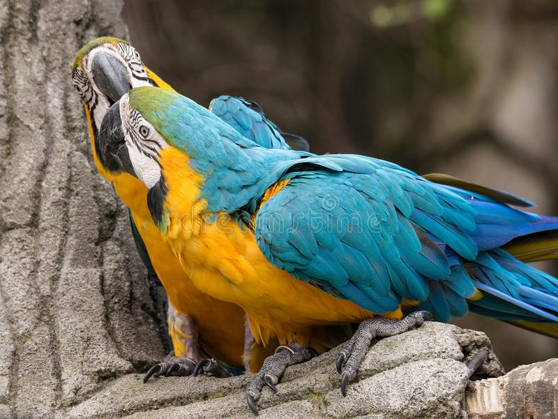 Twee die papegaaien, ook als psittacines op een tak worden bekend stock afbeeldingen