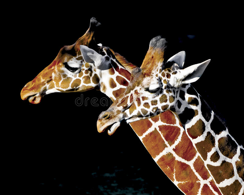 Twee Dierentuingiraffen stock foto's