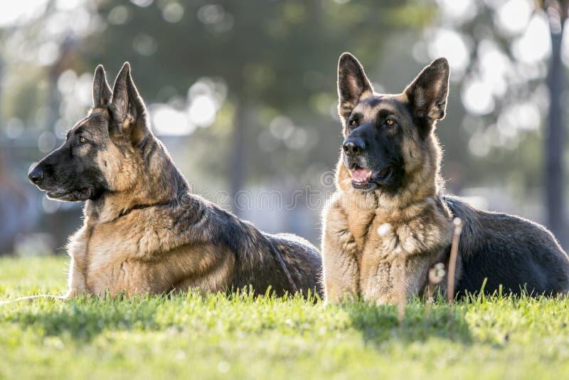 Twee Duitse herder Dogs Looking Alert voor een Portret royalty-vrije stock afbeelding