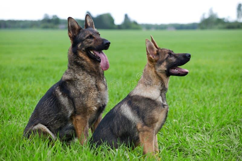 Twee Duitse herders stock fotografie