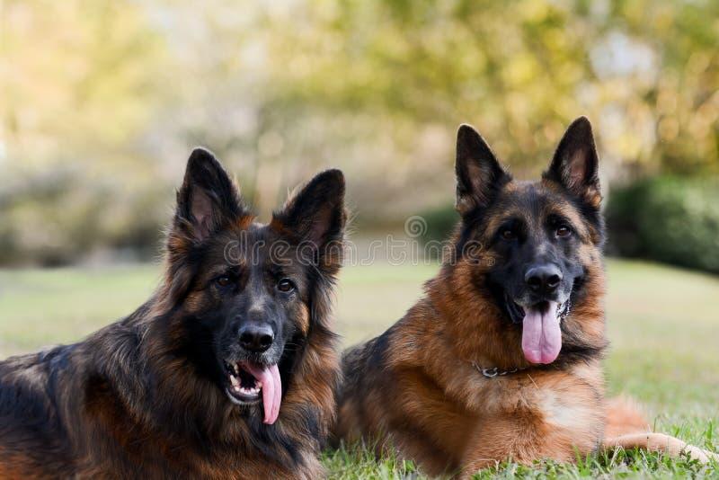 Twee Duitse herders op het groene gras stock afbeelding