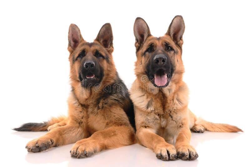 Twee Duitse herdershonden royalty-vrije stock foto