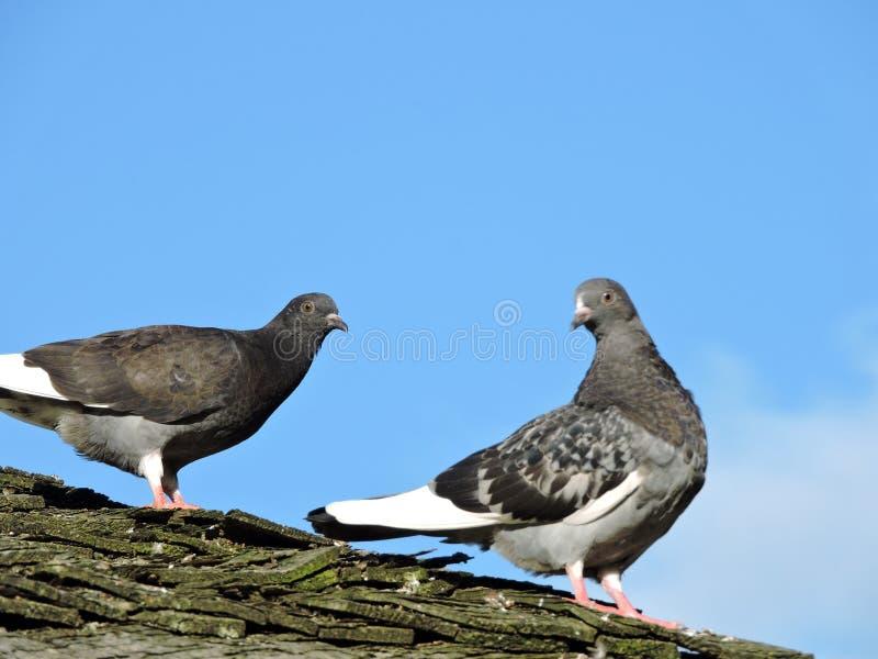 Twee duiven royalty-vrije stock afbeelding