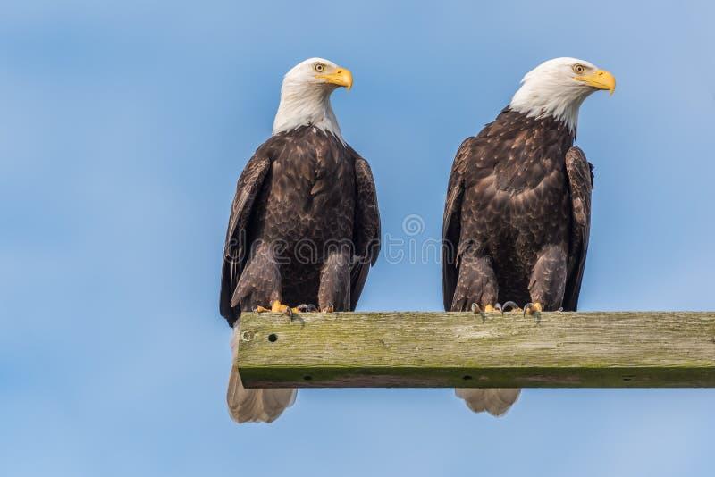 Twee Eagles het Letten op stock foto