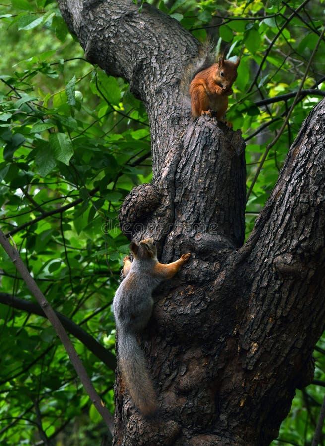 Twee eekhoorns royalty-vrije stock fotografie