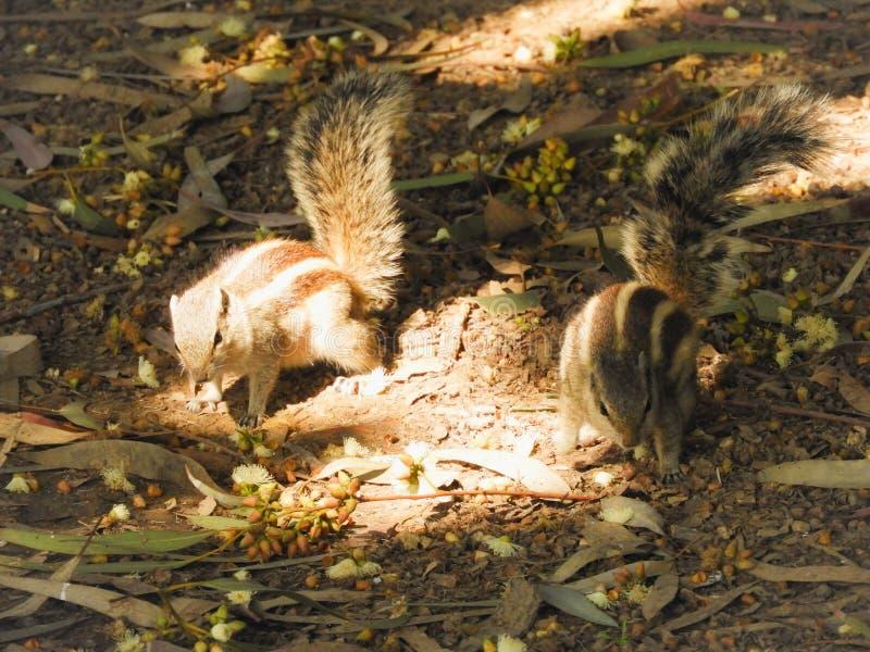 Twee eekhoorns bij het park royalty-vrije stock fotografie