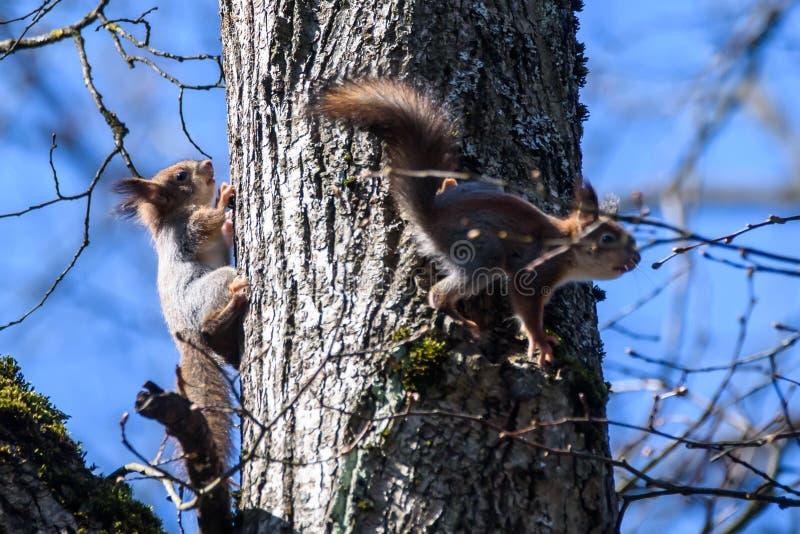 Twee Eekhoorns op boomstam stock foto