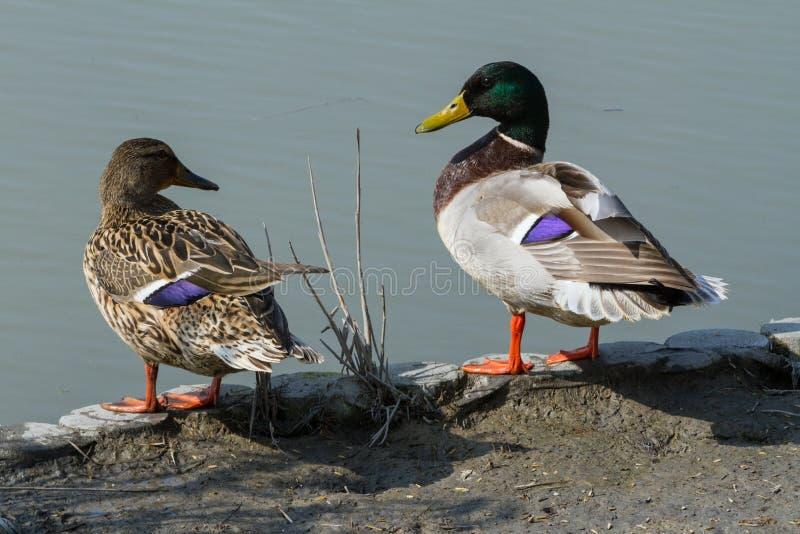 Twee eenden, één mannetje en één wijfje, bekijken elkaar stock afbeelding