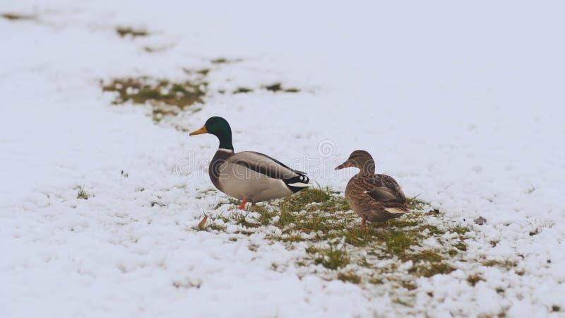 Twee eenden in de winter op sneeuw De Russische winter royalty-vrije stock afbeelding