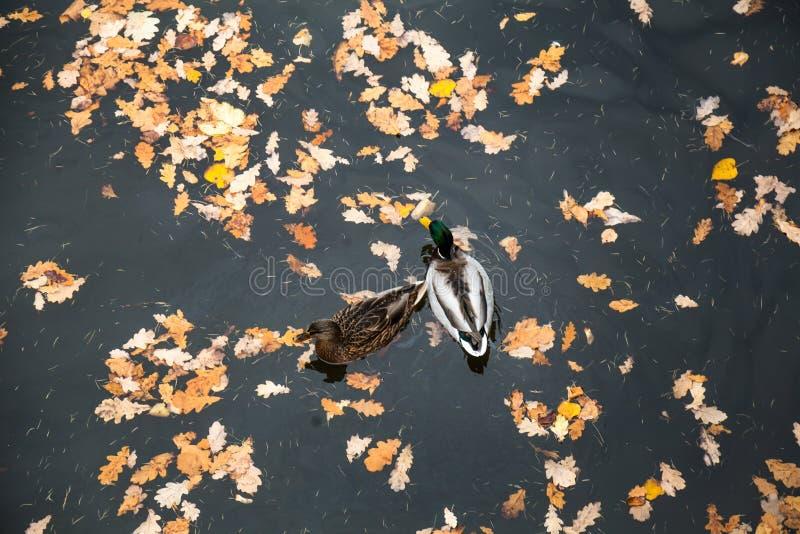 Twee Eenden die in vijver onder rode bladeren zwemmen stock fotografie