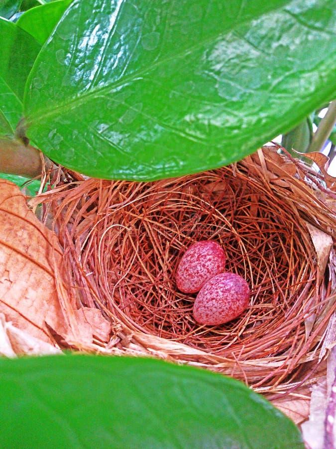 Twee Eieren stock foto