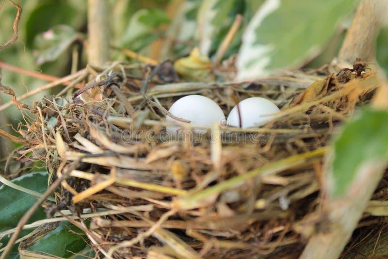 twee eieren in een nest royalty-vrije stock foto's