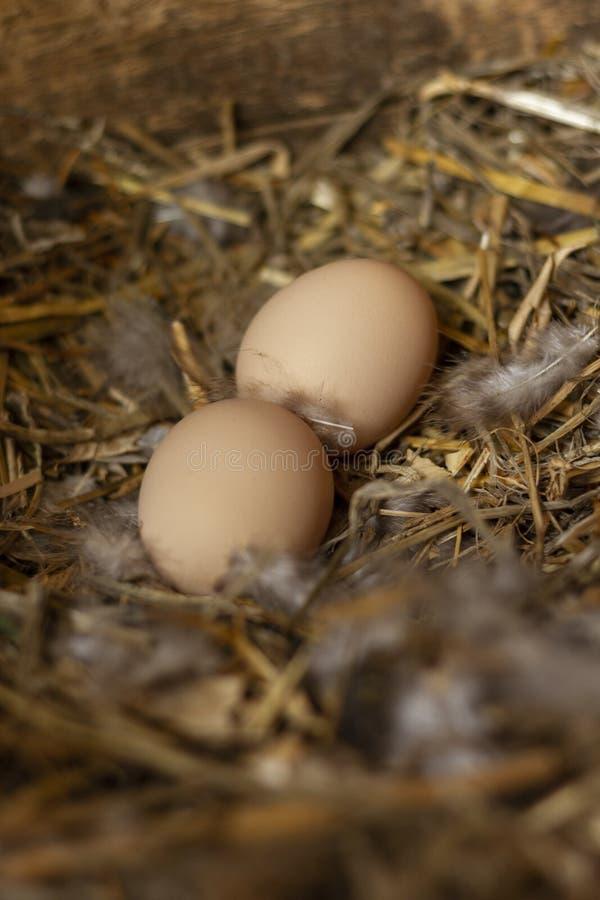 Twee eieren van de freerangekip in een nest met veren royalty-vrije stock afbeelding