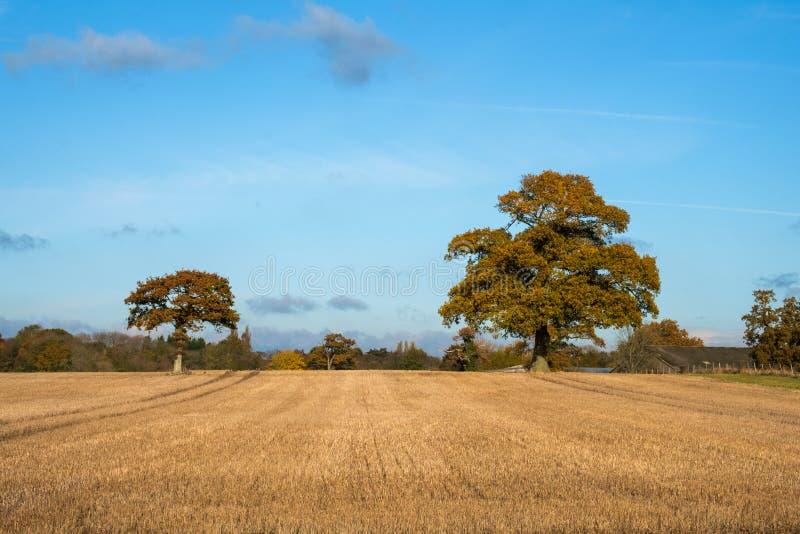 Twee eiken bomen over een gebied stock fotografie