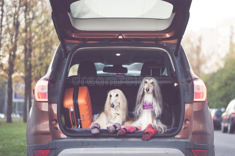 Twee elegante Afghaanse honden in de auto, royalty-vrije stock fotografie
