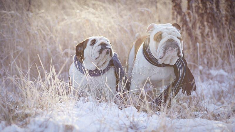 Twee Engelse buldoggen zitten onder het snow-covered gras in blauwe sjaals royalty-vrije stock foto's