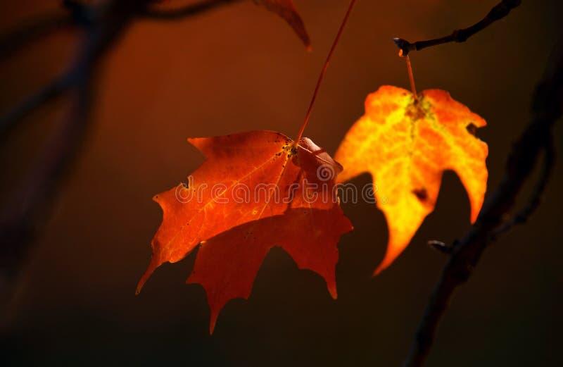 Twee esdoornbladeren stock afbeelding