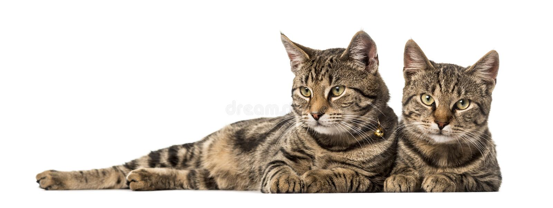 Twee Europese katten die geïsoleerd, zij aan zij liggen royalty-vrije stock afbeelding
