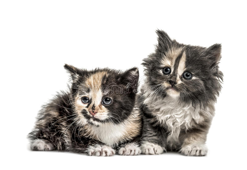 Twee Europese Shorthair-katjes, 1 die maand oud, op wit worden geïsoleerd royalty-vrije stock fotografie