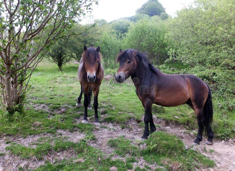 Twee exmoorponeys stock foto's