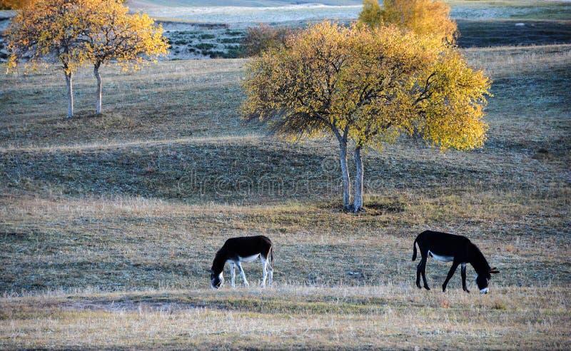 Twee ezels die onder een berkboom weiden op de prairie stock foto's