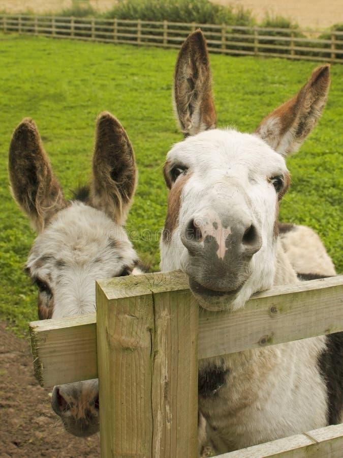 Twee ezels in een paddock royalty-vrije stock fotografie