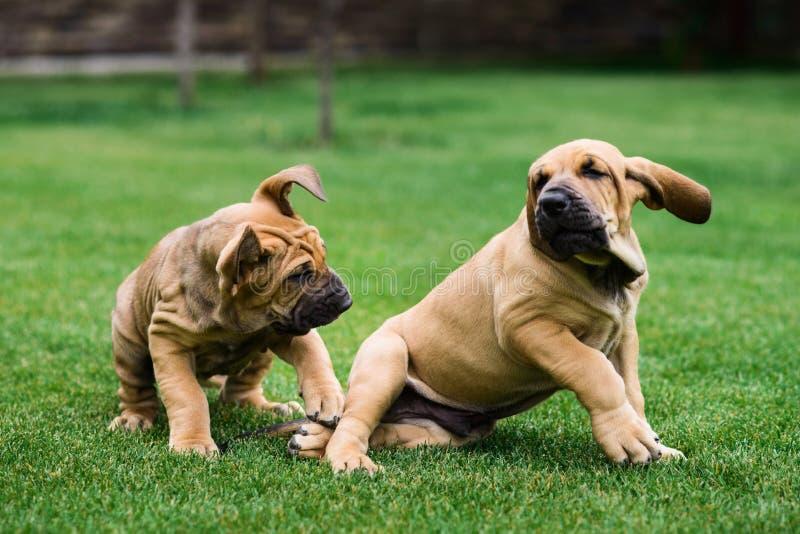 Twee Fila Brasileiro Brazilian Mastiff-puppy die pret hebben stock fotografie