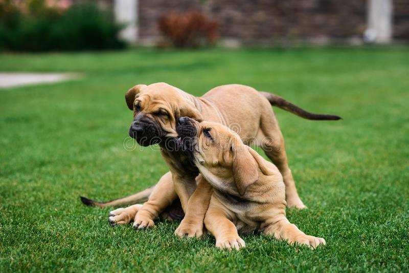 Twee Fila Brasileiro Brazilian Mastiff-puppy die pret hebben stock foto's