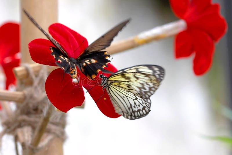 Twee fladderende vlinders royalty-vrije stock fotografie