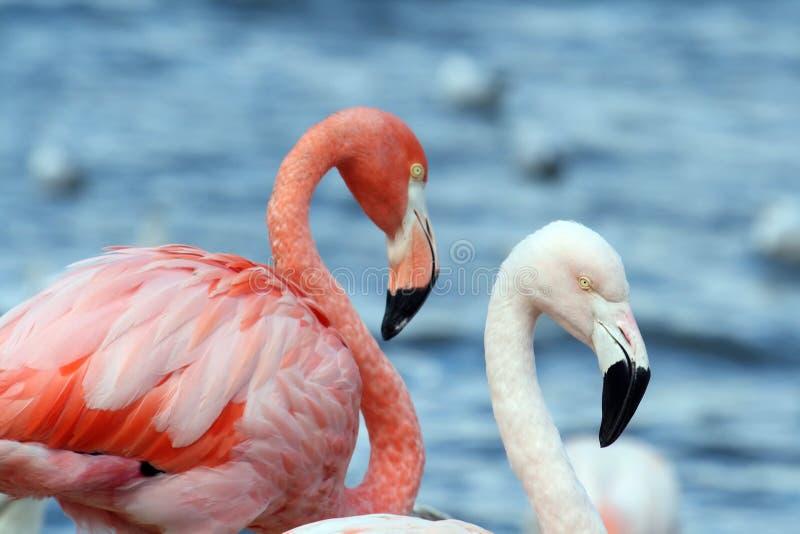 Twee flamingo's stock afbeeldingen
