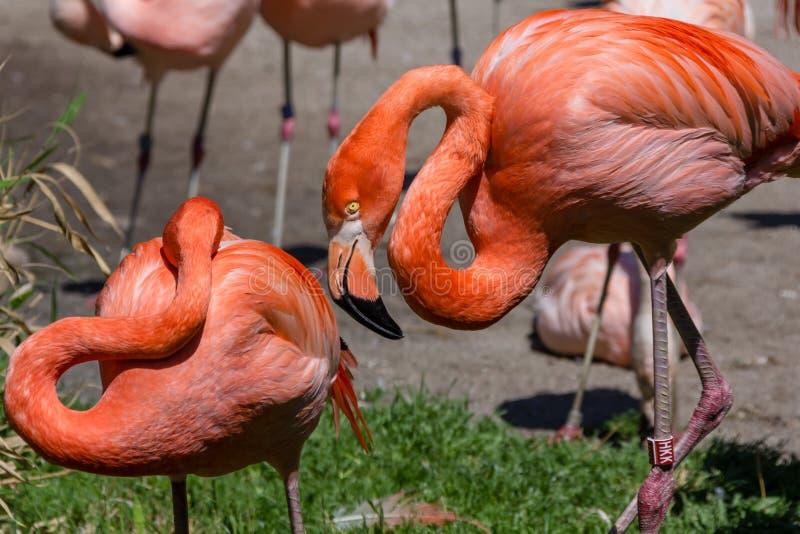Twee flamingo's in de Dierentuin van Praag, Tsjechische Republiek royalty-vrije stock foto's