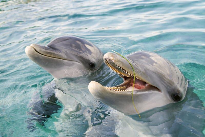 Twee fles-besnuffelde dolfijnen royalty-vrije stock fotografie
