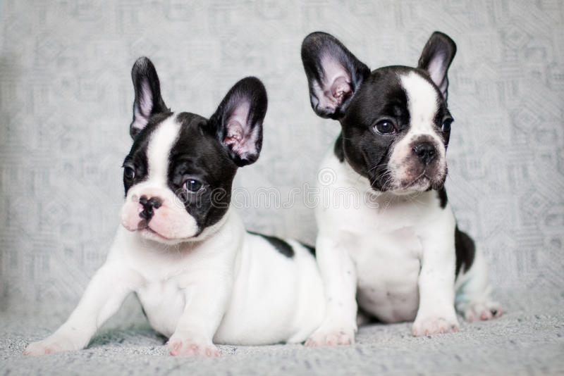 Twee Franse buldogpuppy - tweelingen royalty-vrije stock afbeelding