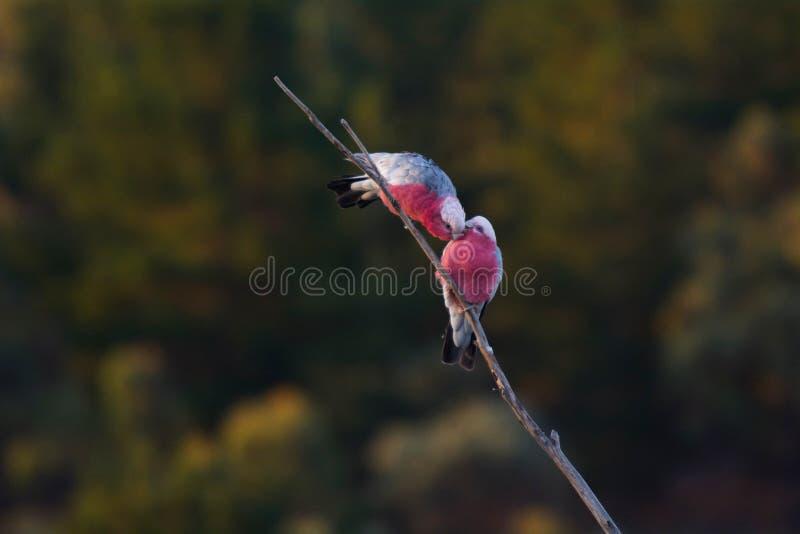 Twee Galah-Vogelspaar op een boomtak royalty-vrije stock afbeeldingen