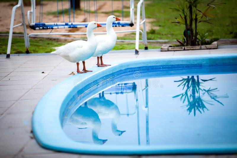 Twee ganzen door het pool/vakantieconcept royalty-vrije stock foto's