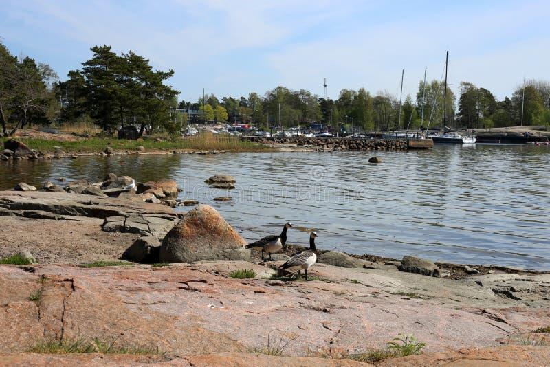 Twee Ganzen op de Kust van Oostzee tijdens Lentetijd stock foto's