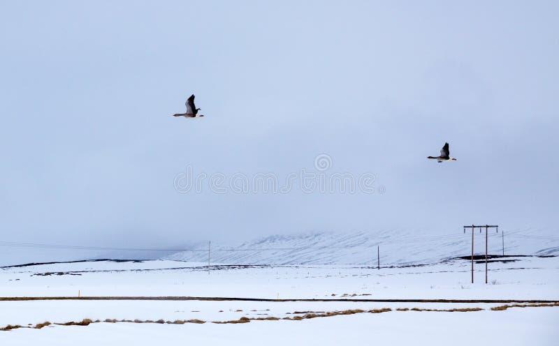Twee Ganzenvlieg over sneeuwgebieden in IJsland stock foto