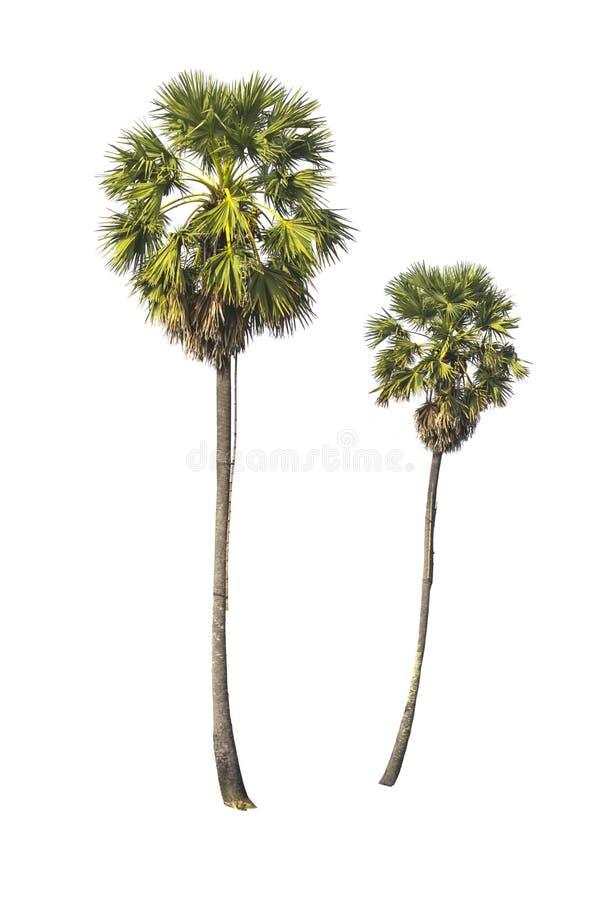 Twee geïsoleerde Suikerpalmen stock fotografie