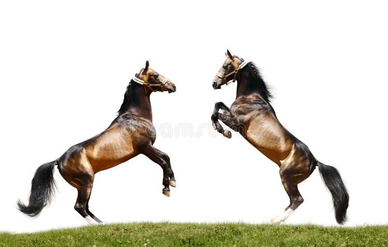 Twee geïsoleerdec hengsten royalty-vrije stock afbeelding