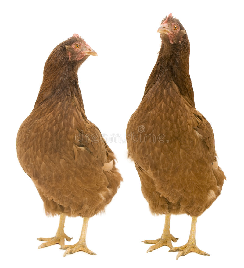Twee Geïsoleerdee Kippen