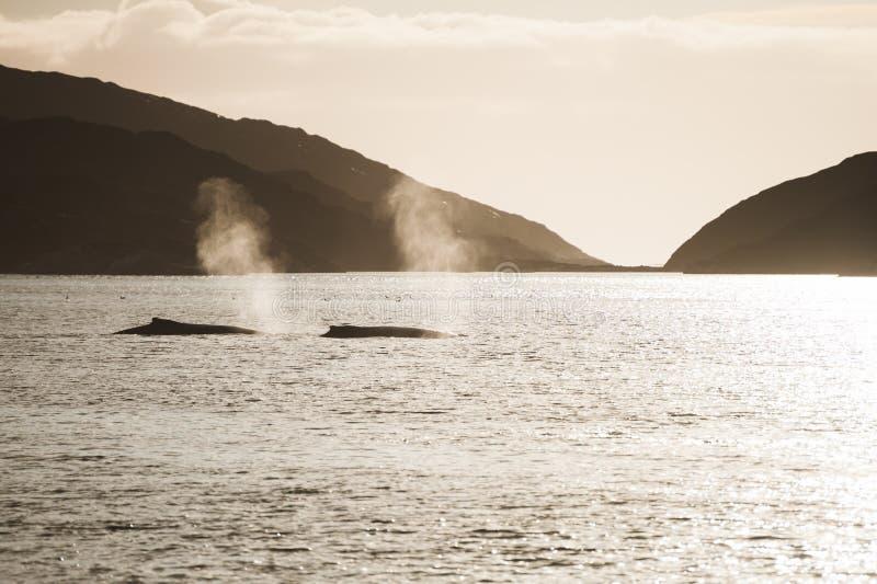 Twee gebocheldewalvis, Groenland stock foto's