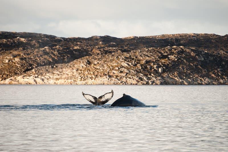 Twee gebocheldewalvissen die in de Atlantische Oceaan, Groenland duiken royalty-vrije stock foto's