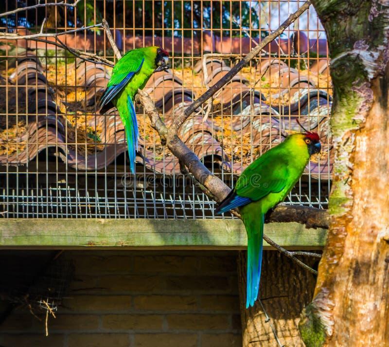 Twee gehoornde parkieten die op een boomtak zitten in het vogelhuis, papegaaien van Nieuw-Caledonië, bedreigden vogelspecie met k stock foto