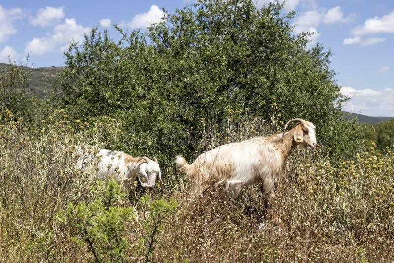 Twee geiten weiden in de bergen stock foto
