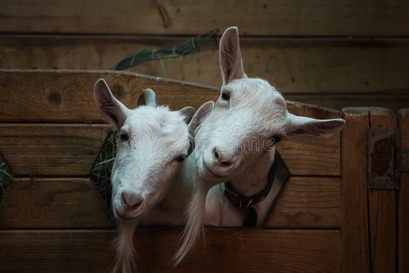 Twee geiten zien eruit royalty-vrije stock afbeeldingen