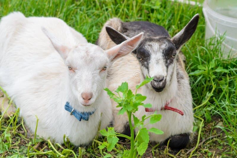 Twee geiten zijn dichtbij op het gras stock fotografie