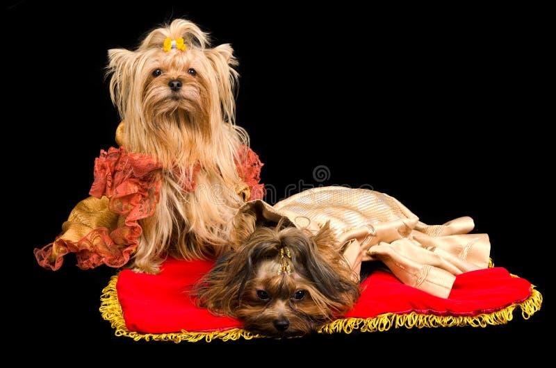 Twee geklede honden stock fotografie