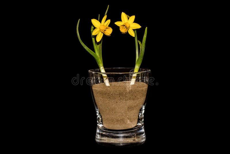 Download Twee Gele Narcissen In Een Glas Stock Afbeelding - Afbeelding bestaande uit achtergrond, macro: 39102933