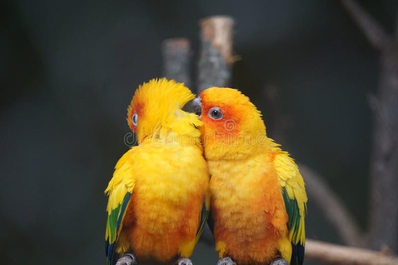 Twee gele vogels zitten op de tak stock foto's