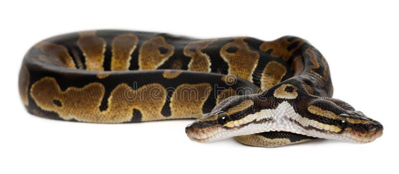 Twee geleide Koninklijke Python of de Python van de Bal, stock afbeeldingen